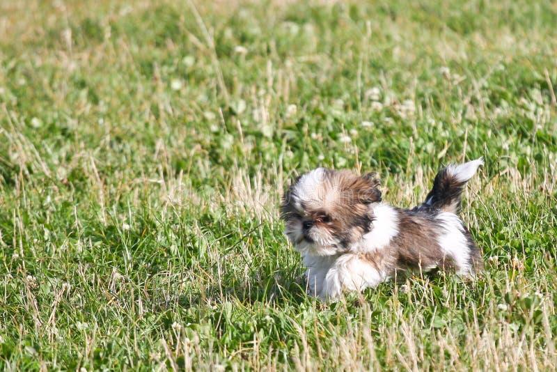 Perrito del apso de Lasa que corre en un campo verde imagenes de archivo