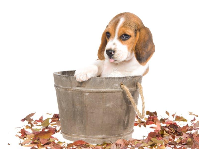 Perrito del beagle en cuba de madera fotografía de archivo