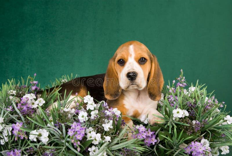 Perrito del beagle que miente en el campo de la lavanda imagen de archivo libre de regalías