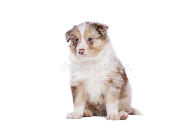 Perrito del border collie imagen de archivo libre de regalías