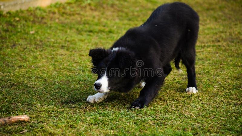 Perrito del border collie foto de archivo