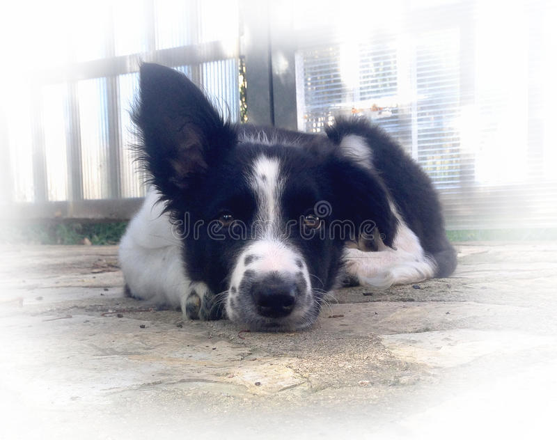 Perrito del border collie imagen de archivo
