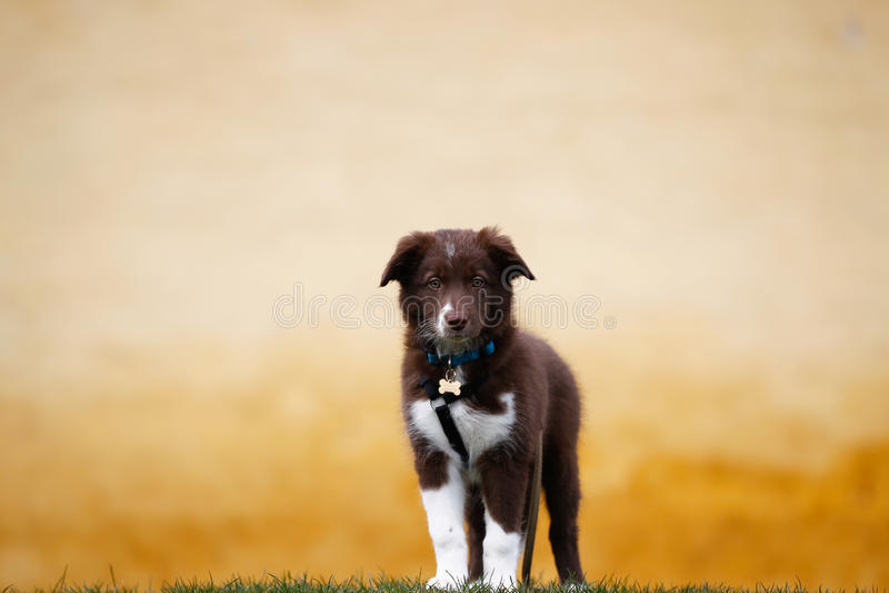 Perrito del border collie de Brown foto de archivo