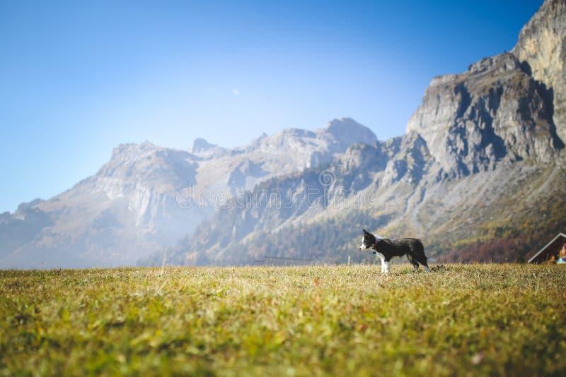 Perrito del border collie en naturaleza imagen de archivo libre de regalías