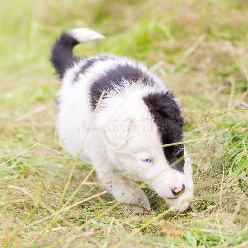 Perrito del border collie en una granja fotografía de archivo libre de regalías