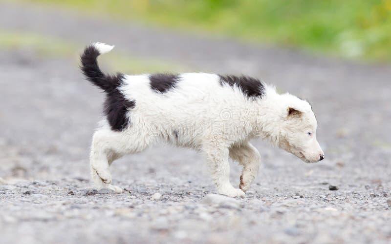 Perrito del border collie en una granja foto de archivo