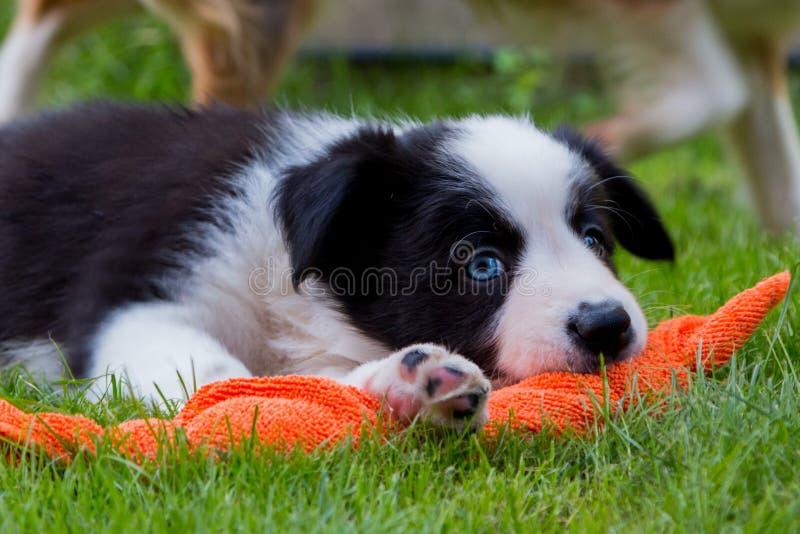 Perrito del border collie que juega en la hierba fotos de archivo libres de regalías