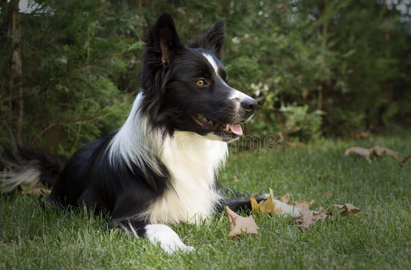 Perrito del border collie que presenta en el jardín de la casa foto de archivo
