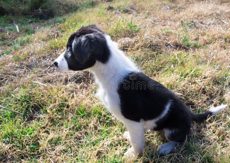 Perrito del border collie que se sienta en hierba fotografía de archivo