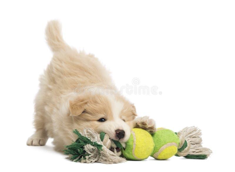 Perrito del border collie, 6 semanas de viejo, jugando con un juguete del perro foto de archivo libre de regalías