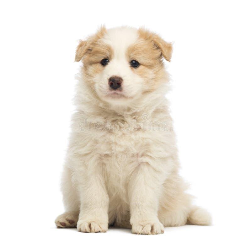 Perrito del border collie, 6 semanas de viejo, sentándose foto de archivo