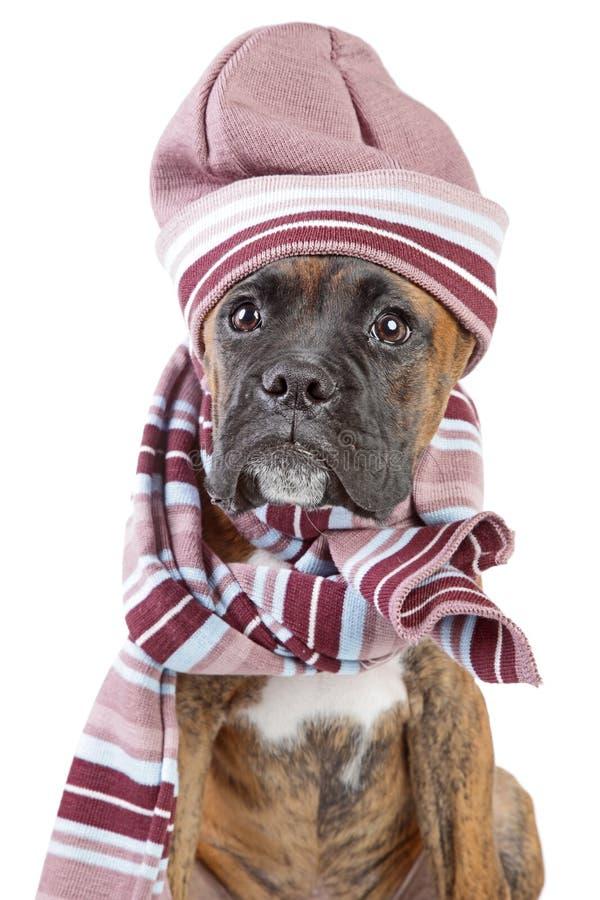 Perrito del boxeador de Alemania en sombrero y bufanda calientes imagen de archivo