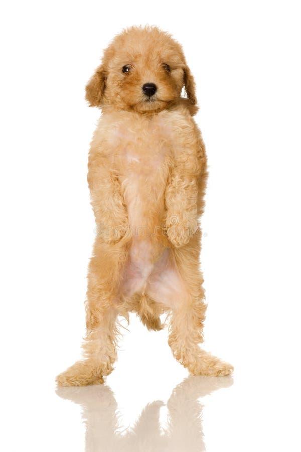 Perrito del caniche del albaricoque foto de archivo