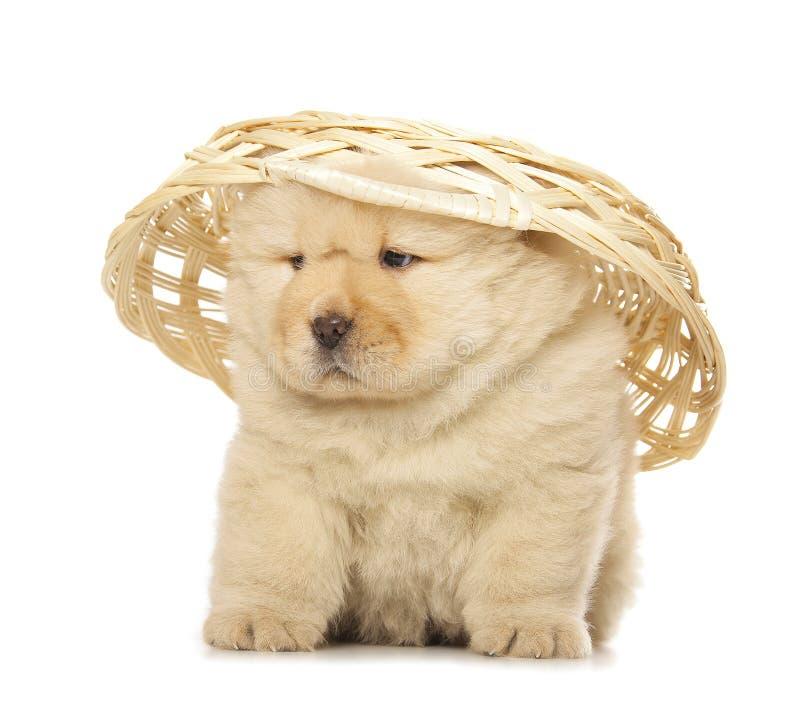 Perrito del chow-chow foto de archivo libre de regalías
