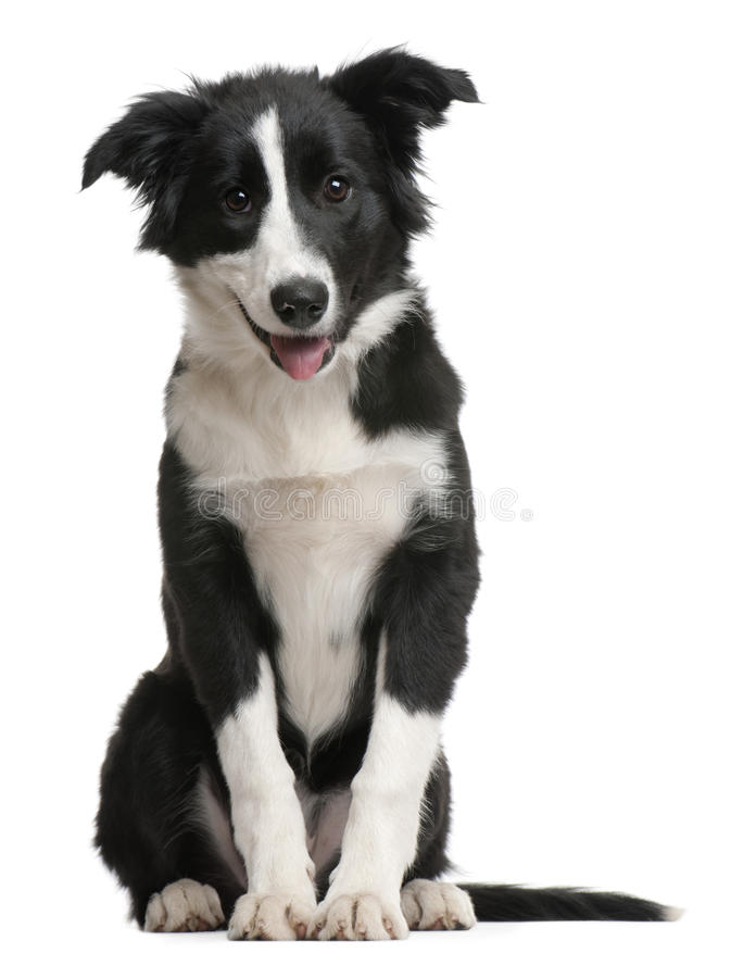 Perrito del collie de frontera, 4 meses, sentándose foto de archivo libre de regalías