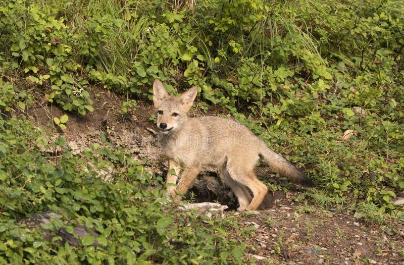 Perrito del coyote en la guarida fotos de archivo libres de regalías