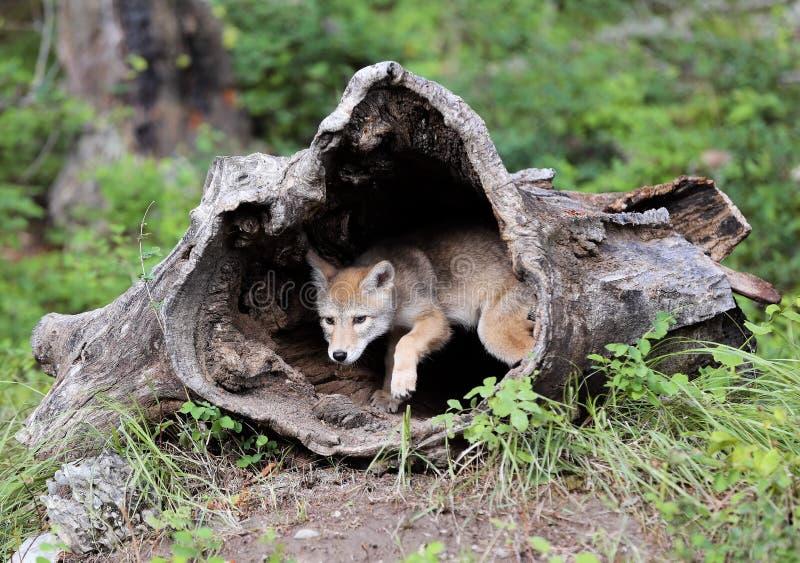 Perrito del coyote que mira fuera de registro ahuecado foto de archivo