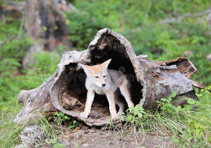 Perrito del coyote que mira fuera de registro ahuecado fotografía de archivo libre de regalías