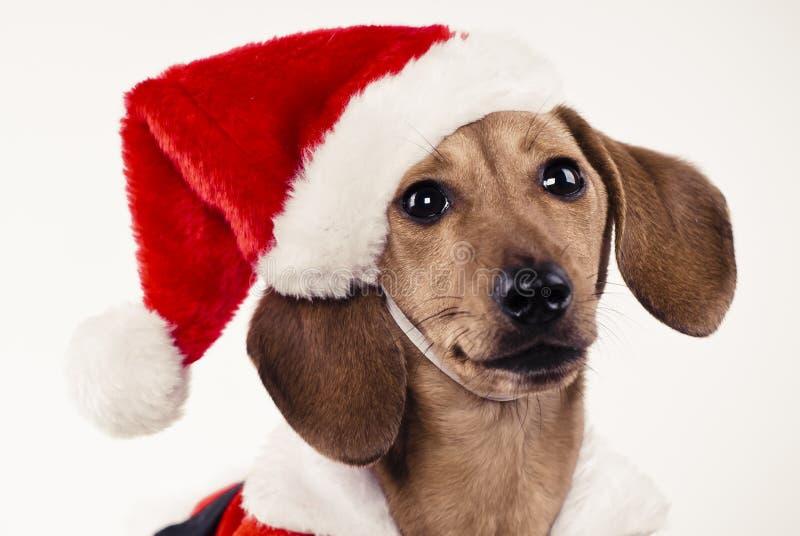 Perrito del Dachshund que desgasta el sombrero de Papá Noel fotografía de archivo