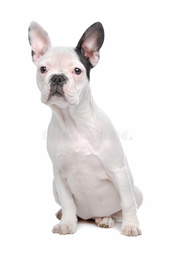 Perrito del dogo francés fotografía de archivo libre de regalías