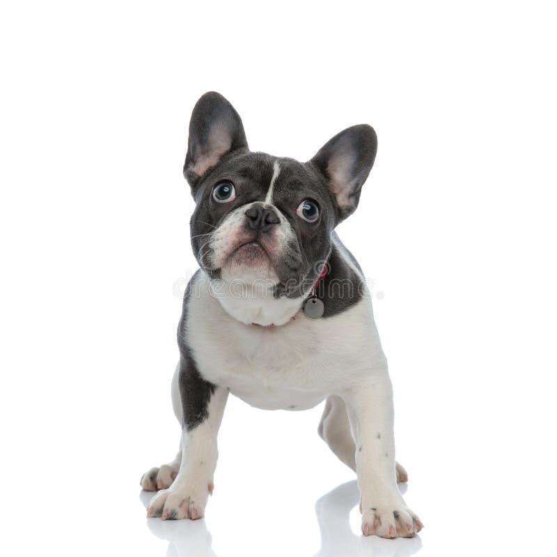 Perrito del dogo francés con el cuello de perro rojo que mira lejos fotografía de archivo libre de regalías