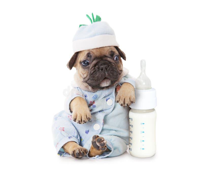 Perrito del dogo francés con una botella de leche foto de archivo libre de regalías