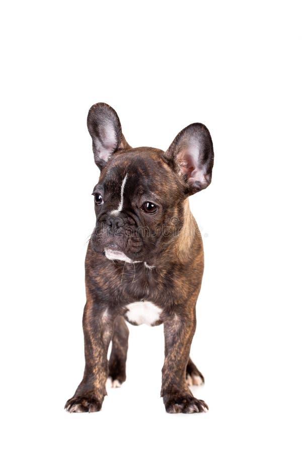 Perrito del dogo francés en blanco imágenes de archivo libres de regalías