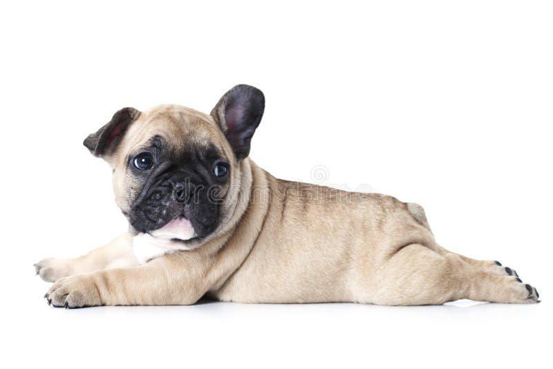 Perrito del dogo francés que miente en el fondo blanco imagen de archivo