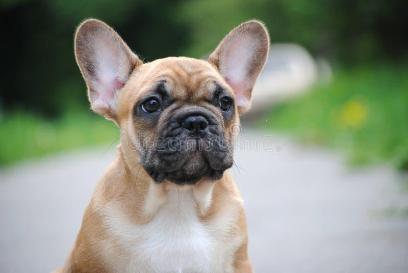 Perrito del dogo franc?s en un paseo fotos de archivo