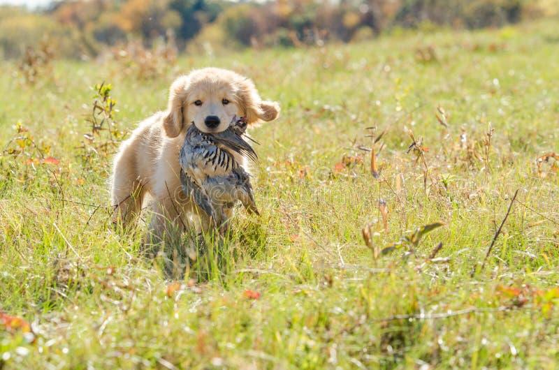 Perrito del golden retriever con el pájaro imagen de archivo