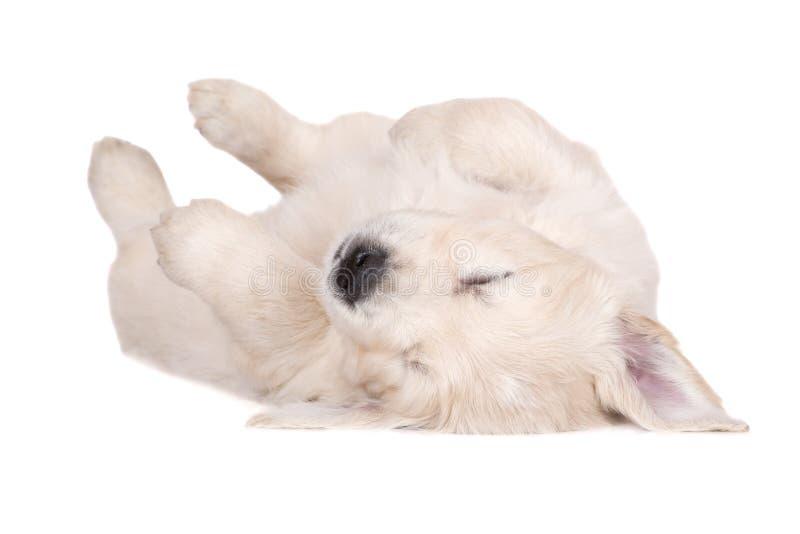 Perrito del golden retriever que duerme en el suyo detrás imágenes de archivo libres de regalías