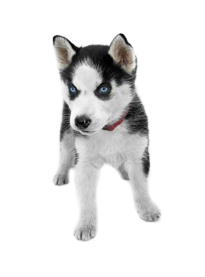 Perrito del husky siberiano de los ojos azules fotos de archivo libres de regalías