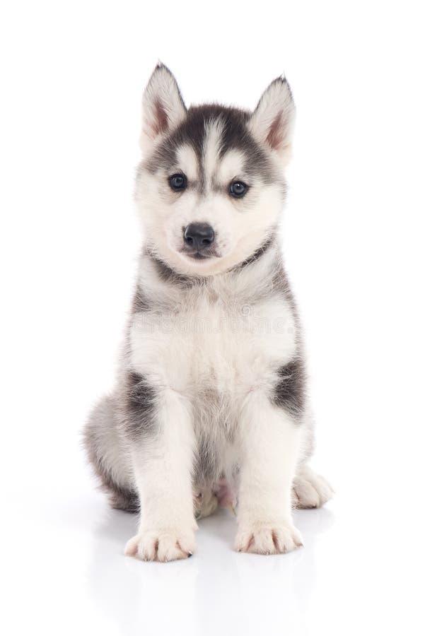 Perrito del husky siberiano que se sienta en el fondo blanco fotografía de archivo libre de regalías