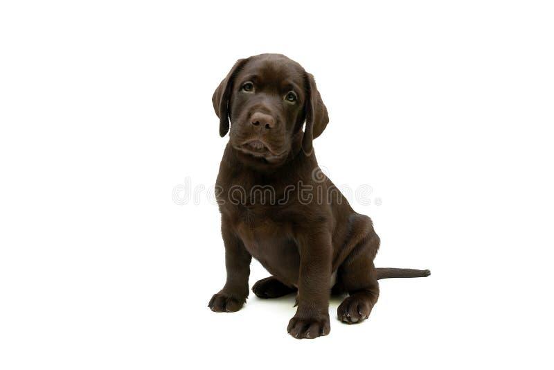 Perrito del labrador retriever en un fondo blanco imagen de archivo libre de regalías