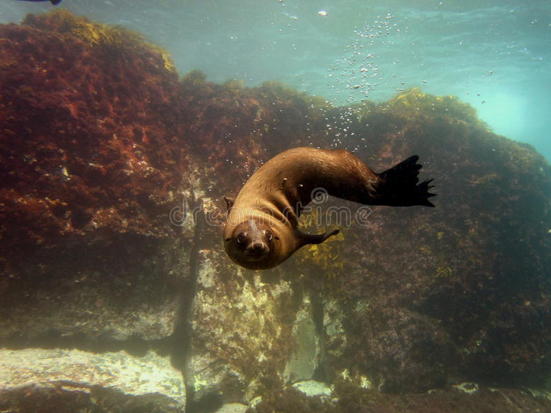 Perrito del lobo marino fotografía de archivo