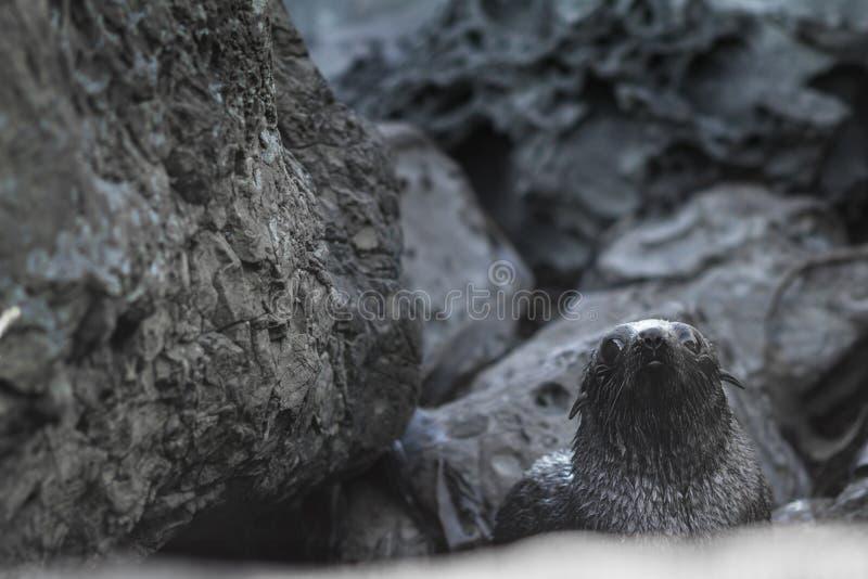 Perrito del lobo marino de Nueva Zelanda, Kekeno imagen de archivo