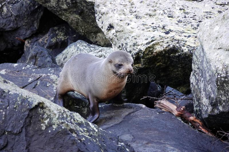 Perrito del lobo marino en Milford Sound, Nueva Zelanda imágenes de archivo libres de regalías