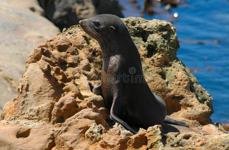Perrito del lobo marino en roca imágenes de archivo libres de regalías