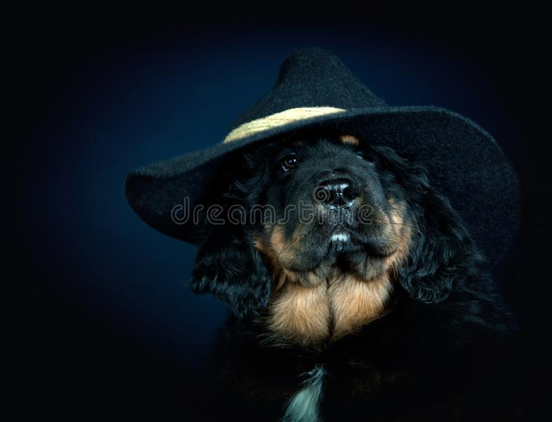 Perrito del mastín de tibetanos en calidad del estudio del sombrero de los genteiments fotografía de archivo