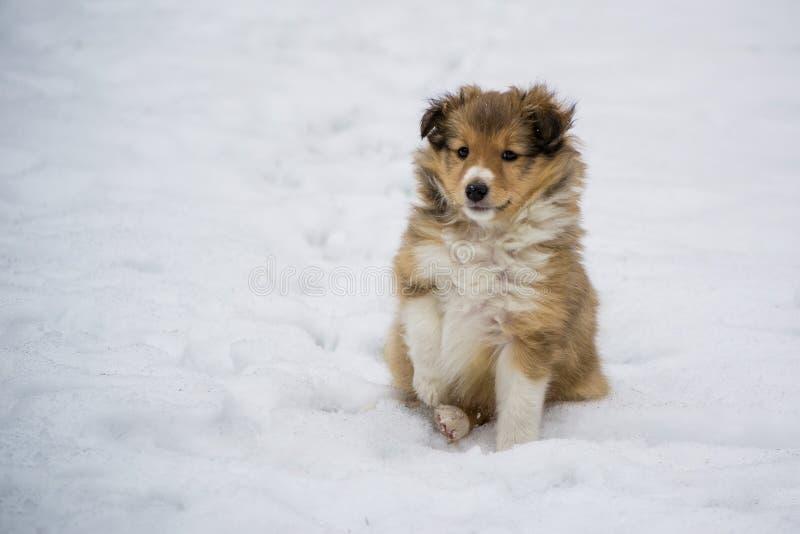 Perrito del oro en la nieve imagen de archivo libre de regalías
