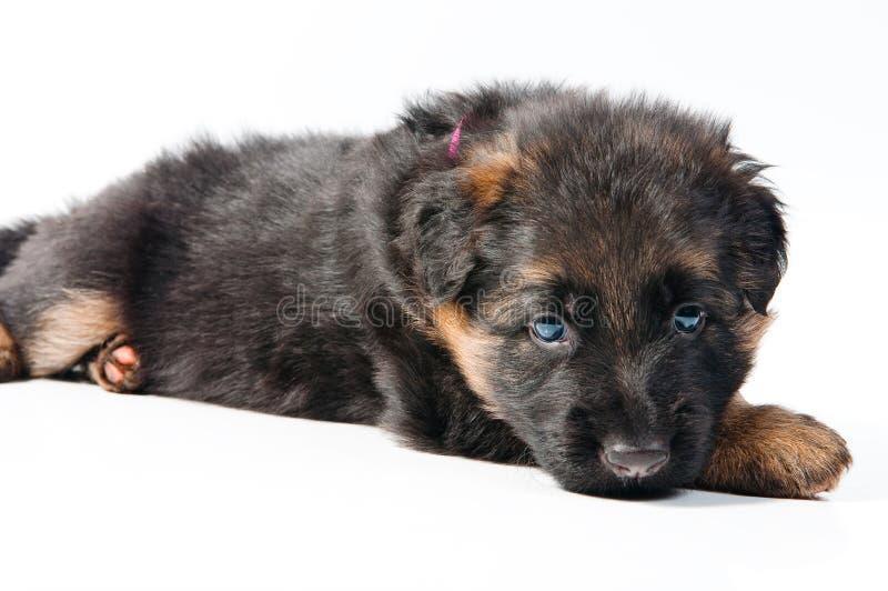 Perrito del pastor alemán imagen de archivo libre de regalías