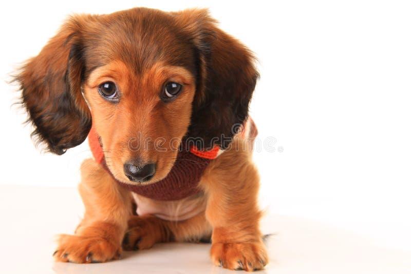 Perrito del perro basset imágenes de archivo libres de regalías