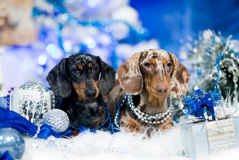 Perrito del perro basset de la Navidad, perros del tvo foto de archivo libre de regalías