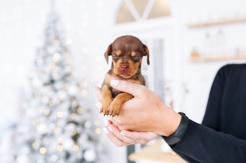Perrito del perro basset en las manos de su dueño femenino en un interior festivo de la Navidad fotos de archivo libres de regalías