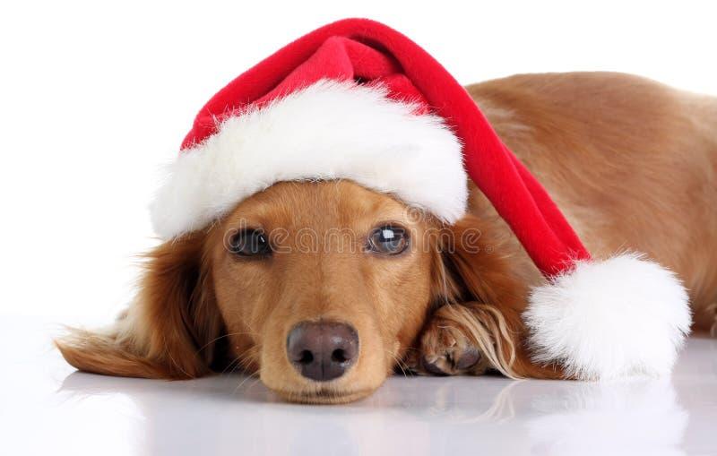 Perrito del perro basset que lleva el sombrero de Papá Noel fotografía de archivo