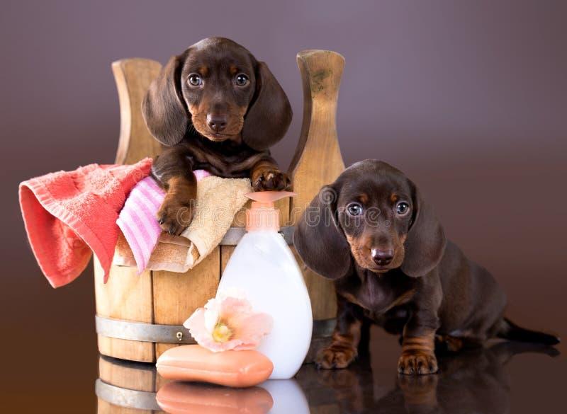 Perrito del perro basset - tiempo del baño foto de archivo libre de regalías