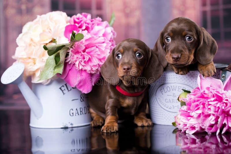 Perrito del perro basset y peonía de las flores imagen de archivo libre de regalías