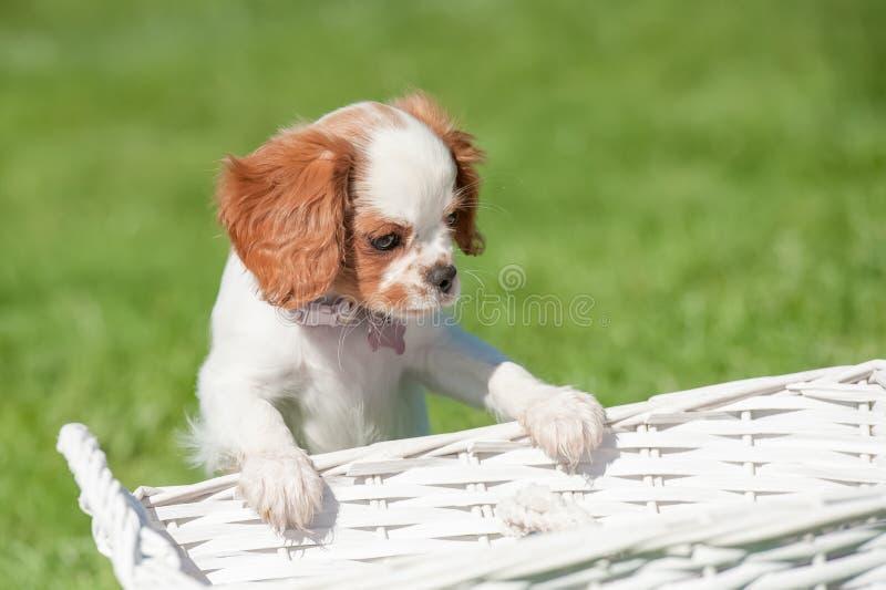 Perrito del perro de aguas fotos de archivo libres de regalías