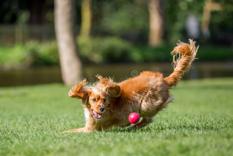 Perrito del perro de aguas que da vuelta para intentar coger una bola fotografía de archivo