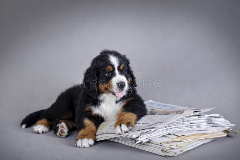 Perrito del perro de montaña de Bernese imagen de archivo libre de regalías